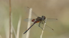 4K Ornate Pennant (Celithemis ornata) Dragonfly - Male Perching - stock footage