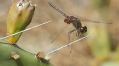4K Ornate Pennant (Celithemis ornata) Dragonfly - Male Perching on Cactus - stock footage