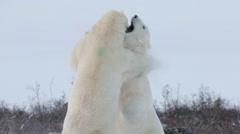 Polar bears fighting in the snow Stock Footage