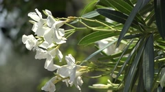 Oleander white flowers Stock Footage