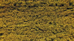 Aerial top view of colza field, yellow flowers Stock Footage