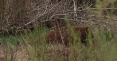 Rust colored black bear lying in grass and brush in Yellowstone - stock footage