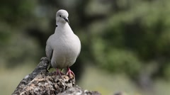 Collared dove perched Stock Footage