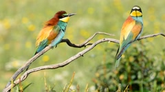 Colorful bright bee-eater on tree branch Stock Footage