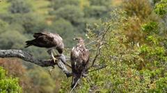 Bonelli's eagles on tree branch Stock Footage