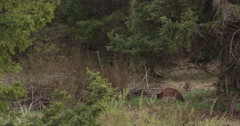 Brownish black bear lies down in trees to rest Stock Footage