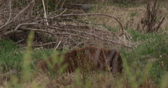 Brownish black bear lies in grass chewing grass as car passes in foreground Stock Footage