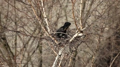 Raven to build a nest of twigs - stock footage