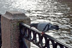 Pigeon on a fence embankment Stock Photos