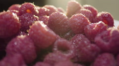 Closeup shot of vibrant, ripe raspberries in the morning light. Stock Footage