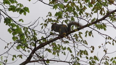 Squirrel Gathering Nuts on Branch Stock Footage