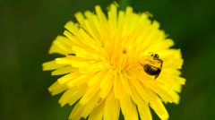 Bee collects pollen on dandelion Stock Footage