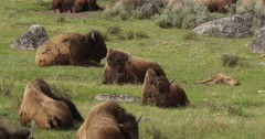 Bison herd resting in rocky meadow with sagebrush and calves Stock Footage