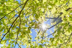 Sun shining through the leaves of a tree - stock photo