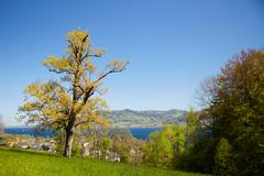 Flowering tree in blossom in front of lake Attersee Stock Photos