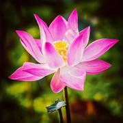 Lotus close up - stock photo