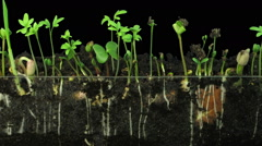 Time-lapse of germinating mixed vegetables in RGB + ALPHA matte format Stock Footage