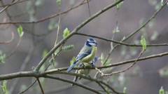 A pair of Eurasian blue tits (Cyanistes caeruleus) on a branch - stock footage