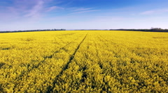 Aerial view of colza field, yellow flowers and blue sky. Stock Footage