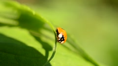 Ladybird opens its wings and folds them back again - stock footage