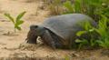 4K Gopher Tortoise (Gopherus polyphemus) Footage