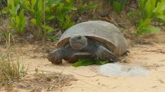 4K Gopher Tortoise (Gopherus polyphemus) Stock Footage