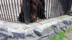 Brown Bear dines at the zoo - stock footage