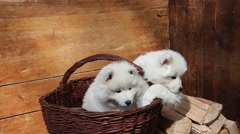 Samoyed puppies dog Stock Footage