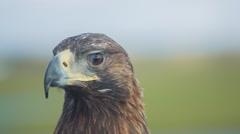 Golden Eagle Looks Around Stock Footage