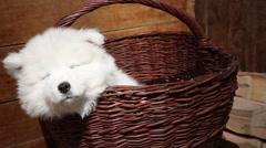 Samoyed puppy dog Stock Footage