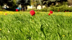 tulip in the grass winding - stock footage