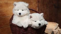 Sleeping Samoyed puppies Stock Footage