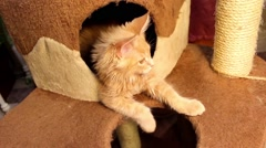 Playful cat Maine Coon - stock footage