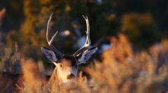 Male Mule Deer Grazing Arkistovideo