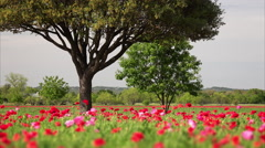 Poppy Field and Tree During Spring in Texas Stock Footage