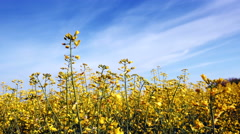 Blooming canola field adn blue sky. Close up. - stock footage