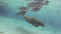 Manatees dive after taking a surface breath Stock Footage