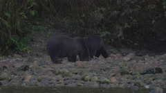 Grizzlies drinking water while looking for salmon eggs on riverbank Stock Footage