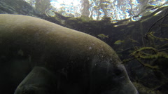 Manatee and fish coexist in clear water Stock Footage