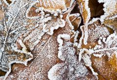 Brown oak leaves covered by winter hoarfrost - stock photo