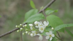 Bird-Cherry Flower Close Up Stock Footage