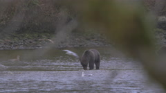 A grizzly in a river nibbles salmon while seagulls wait for leavings Stock Footage