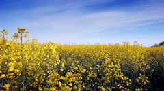 Blooming canola field adn blue sky. Close up. Stock Footage