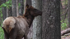 Elk turning and looking at camera Stock Footage
