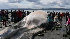 Children in a crowd view dead beached whale Stock Footage