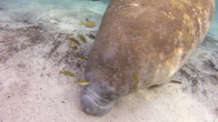 Tiny fish clean a manatee of moss Stock Footage