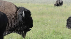 Bison Grunts ans Sticks Out Tongue Stock Footage