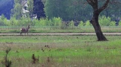 Beautiful roe at the meadow. - stock footage