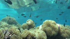 Sea anemones with shoal of tropical fish - stock footage