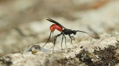 4K Braconid Wasp (Atanycolus sp) - Female Ovipositing Stock Footage